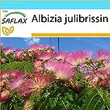 SAFLAX - Set regalo - Acacia de Constantinopla - 50 semillas - Con caja regalo/envío, etiqueta para envío, tarjeta de felicitación y sustrato de cultivo y fertilizante - Albizia julibrissin