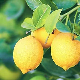 レモンの苗木 品種:リスボンレモン【品種で選べる果樹苗木 15cmポット 1~2年生 接木苗/1個】レモンの中でも育てやすく豊産性があり、1本でも実がなる品種です!トゲはある品種で、酸味が強く、さわやかな香りがあり、果汁が多いのが特徴です。(ポ...