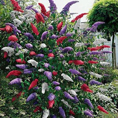 Ultrey Samenshop - Schmetterlingsstrauch lila Samen Sommerflieder Samen lange Blütentrauben Pflanzen Haus Garten Sommer Blumensamen mehrjährig winterhart