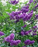 30 semillas - Francés lila, Syringa vulgaris, semillas de arbustos (Rápido, fragante, Hardy, Seto llamativo)