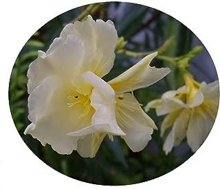 yellow oleander plant