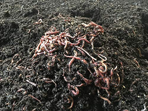 Worms 1 Pound Red Wiggler