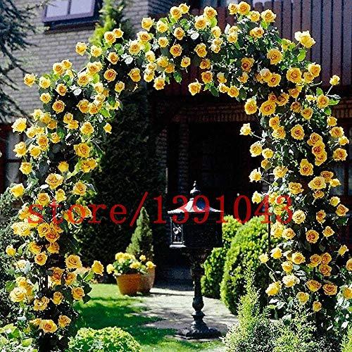 100 graines ROSE escalade rare rosier graines bonsaï de fleurs pour la maison jardin Rosa Multiflora Perennial jardin Décor