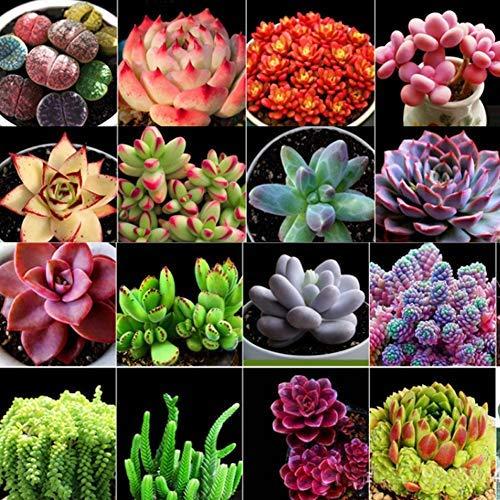 Gemischt Saftig Sukkulenten Samen, Mini Blumentöpfe Töpfe Kaktus Succulent Pflanzensamen Fettpflanzen Saatgut Zimmerpflanzen Haus Dekorieren Blumensamen