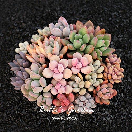100seltene graptopetalum amethystinum Fetthenne Samen Scorpion Sukkulenten Pflanzen Innen Home Garden Bonsai Samen Flower
