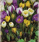 100 Botanische gemischte Krokusse Blumenzwiebeln Crocus...
