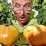 1 paquete 100 semillas / Invernadero paquete perenne tomate Árboles gigantes al aire libre Disponibilidad semillas de la herencia de tomate en Bonsai verde libre del envío