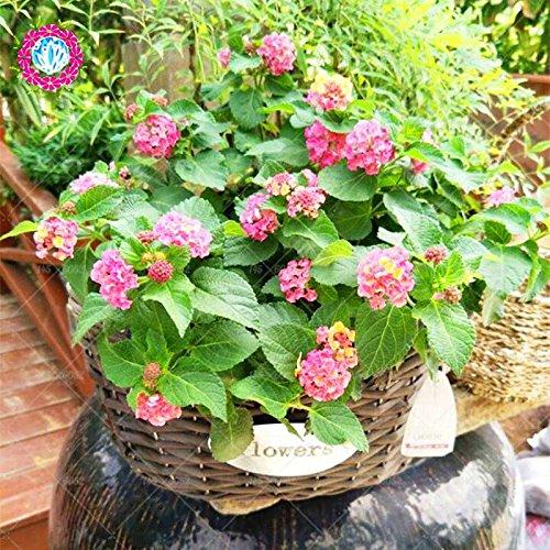 New Lantana Camara en pot Graines 50Pcs/sac Fleurs rares pour le jardin Plantation d'Fleurs Bonsai Semillas de Flores Livraison gratuite 6