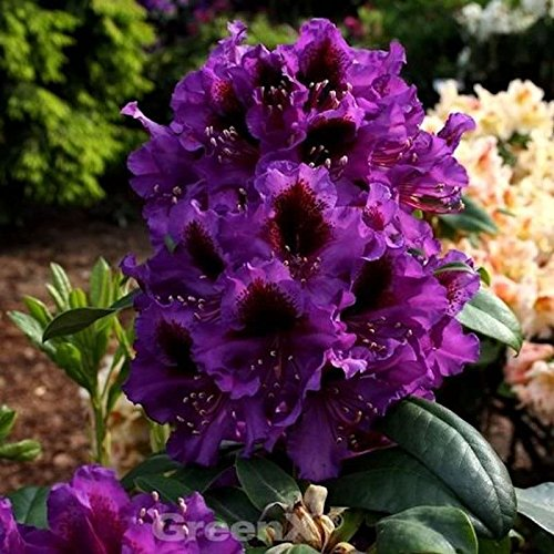 Rhododendron 30 -