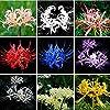 ラジアータ球根、香りのよい特別な花の中庭ハーディギフト見事な珍しい種-20球根
