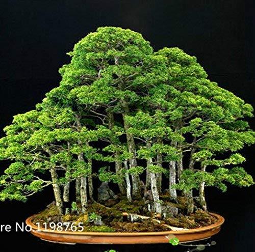 30 Wacholder Bonsai-Baum-Samen Topfblumen Büro Bonsai reinigen die Luft absorbieren schädliche Gase