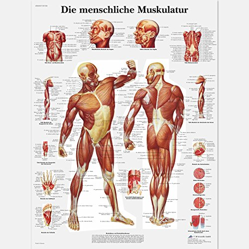 3B Scientific:<br />Lehrtafel laminiert - Die menschliche Muskulatur  - jetzt bei Amazon bestellen