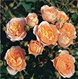Sweet Dreams Miniature Patio Rose Supplied in a 3L Pot