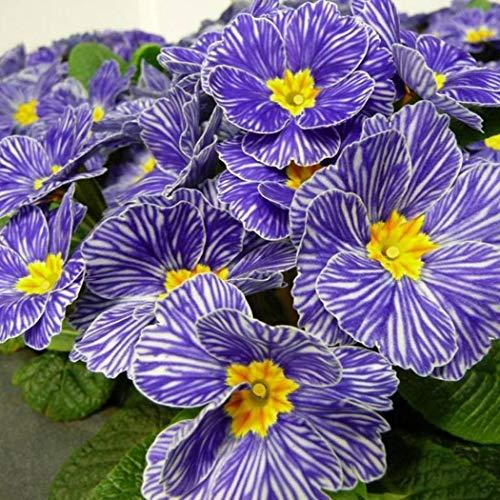 Keland Garten - Nordamerika Duftend Blau Nachtkerze Saatgut Blumensamen Achtuhrsblume(Oenothera biennis) als essbare Salatdekoration, mehrjährig, geeignet für Garten, Terrasse, Balkon