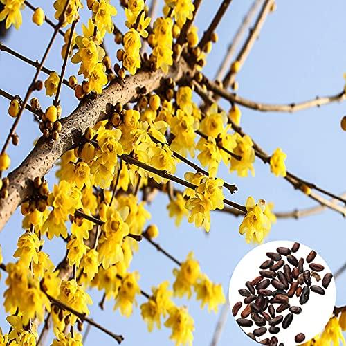 Oce180anYLVUK Samen,20 Stück/Beutel Topf Samen Schöne Trockenresistenz Einfach zu pflanzen Chimonanthus Praecox Blumensamen für den Park Seed