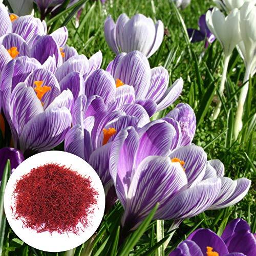 Benoon Safran-Krokus-Samen, 200 Stück/Beutel Safran-Krokus-Samen Natürliche, Sichere, Fruchtbare Blütenpflanzensamen Für Den Garten Safran Krokus Samen