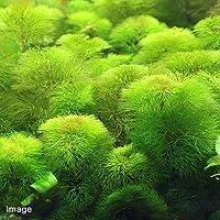 (水草)メダカ・金魚藻 イエローカボンバ(10本) 北海道航空便要保温