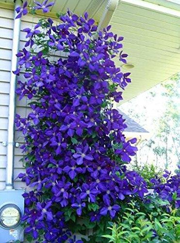 100pcs/sac graines Clematis vignes clématites fleur de graines de fleurs bonsaï fleurs vivaces plantes grimpantes clématites pour le jardin de la maison 12
