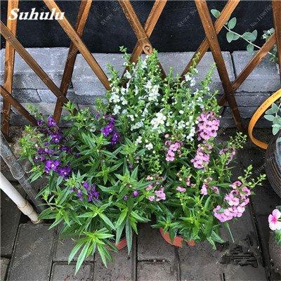 100pcs Belles aromatiques gypsophile Graines vrai étoilées fleurs en pot Gypsophila paniculata All Over The Sky Étoile Bonsai Fleur 12