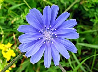 Best wild chicory seeds Reviews