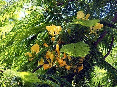 Yellow Bird of Paradise 10 graines -Caesalpinia- Tropical