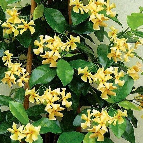 ClematisOnline - 2 x gelsomino stellato 'Star of Toscane' - profumo dolce e intenso | 2 piante rampicanti – Giallo, Invernale e verde sempre, 2 x 1,5 litri