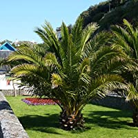 These tropical, architectural beauties will add that holiday feel to your patio for years to come With their spectacular fan shaped foliage, Phoenix palms provide a dramatic impact to any garden Amazingly, these superbly exotic plants thrive in the U...