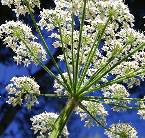 6000+ Queen Seeds de dentelle Anne décoratif Jardin Plante ~ annuelle Pure White