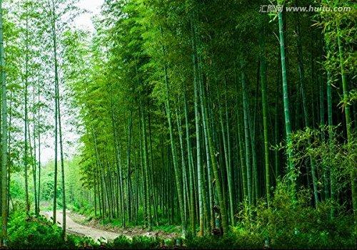 D'énormes 80 graines/paquet pubescens géant Phyllostachys Moso graines de bambou rustiques -Giant 1