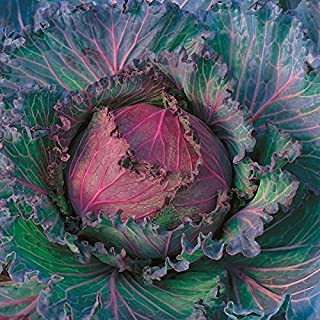 Cabbage - January King - 500 Seeds