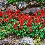 Outsidepride Sage Scarlet Wild Flower Seed - 5000 Seeds