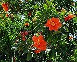 Germinación Las Semillas: 50 Semillas de Granada árbol de los Bonsai - Punica granatum Comestible de la Fruta USA - Bkseeds