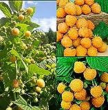 50pcs Semillas de Frambueso, Semillas Frutales Rubus Idaeus Raspberry, Semilla Ecologicas Plantas Exterior para Maceta, Jardín, Patio (Amarillo)