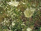 Portal Cool 3000 Graines Origan/marjolaine / Origanum vulgare/herbes aromatiques