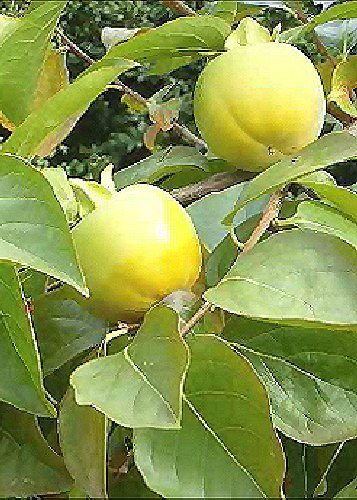TROPICA - Kakibaum/Kakipflaume (Diospyros kaki) - 10 Samen