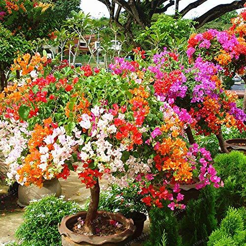 Kalash Nuevos 100pcs SEMILLAS Bougainvillea de flores para la jardinería Mixta