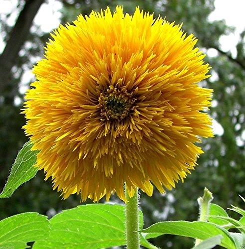 Sunflower- Sungold-nain Ours en peluche Tournesols! 200 graines, Grand dans le récipient!