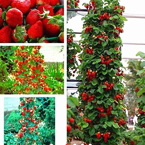 ZHOUBA - Semi di fragola da arrampicata per piante da giardinaggio, 50 pezzi di semi di fragola rossa, decorazione in vaso, decorazione per piante rampicanti