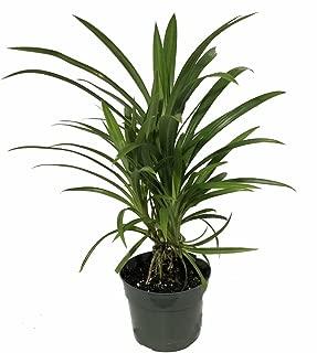 Best growing pandanus trees Reviews