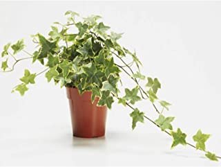 AMERICAN PLANT EXCHANGE Variegated English Ivy Trailing Vine Live Plant, 6