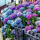 Kisshes Seedhouse - 50pcs Rare Multicolore Hortensia Graines Romantique Arrondies Fleur Graines, la Plantation Est Simple Grimpant Hortensia Graines Maison Jardin Bonsai Graine de Fleur