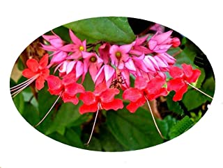 clerodendrum red flowers