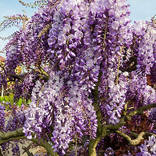Wisteria sinensis'Prolific' | Glicine Cinese | Fiori viola | Pianta di Glicine rampicante | Altezza 55-65 cm | Vaso Ø 15 cm