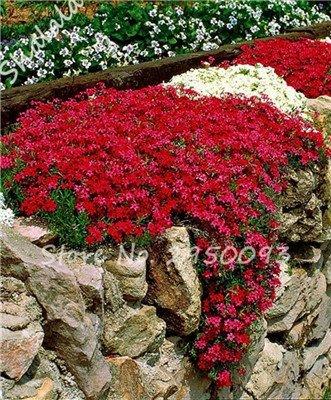 vegherb Exotische Neue Ankunfts-Samen Bonsai EIN Beutel 200 Stück im Freien Staudenphlox Samen Kletterpflanze Hoch Keimung DIY Gartendeko 9