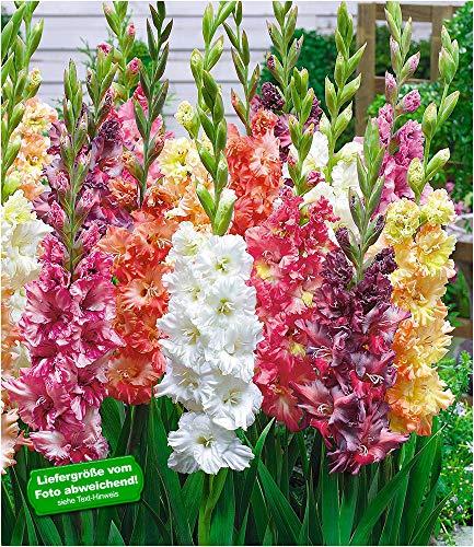 BALDUR Garten Papagei-Gladiolen-Mischung 20 Zwiebeln Gladiolus Schnittblumen