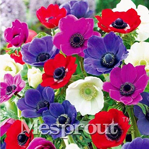 50pcs / lot Plantes jardin Violet Anemone Pulsatilla vulgaris Pasque fleur rare Graines japonaise Flores Pots de semences