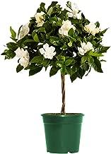 AMERICAN PLANT EXCHANGE Mini Gardenia Tree Veitchii Live Plant, 6