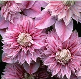 Clematis 'Josephine'. Perennial. Plant. Vine Plants M9