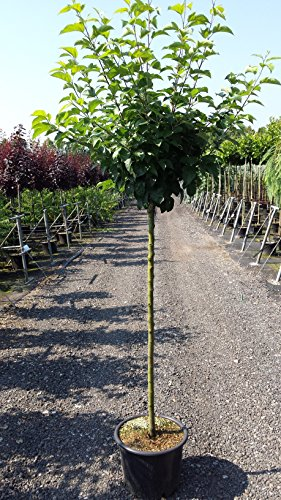 Apfel Baum 'Elstar' Malus domestica 150-200cm im 7,5L Topf gewachsen winterhart - 5