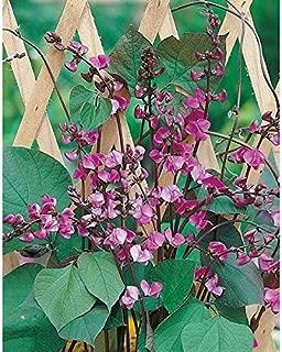 Kings Seeds - Oriental - Hyacinth Bean (Lablab Bean) - 75 Seeds